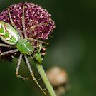 Green Lynx Spider! by vasu