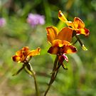 Pansy Orchid by kalaryder