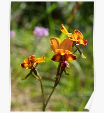 Pansy Orchid Poster
