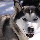 Snow Dog by Luka Skracic