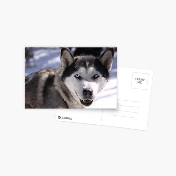 Snow Dog Postcard