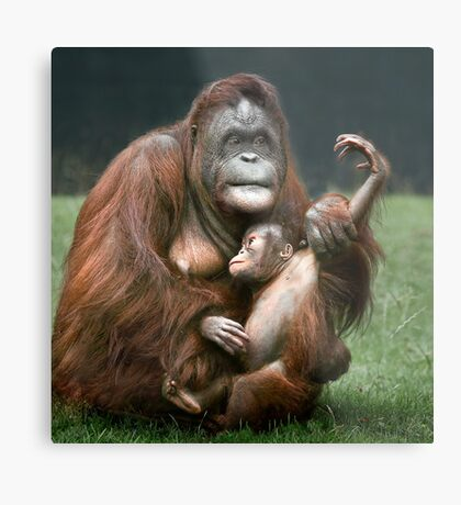 Orangutan Mother and Baby Metal Print