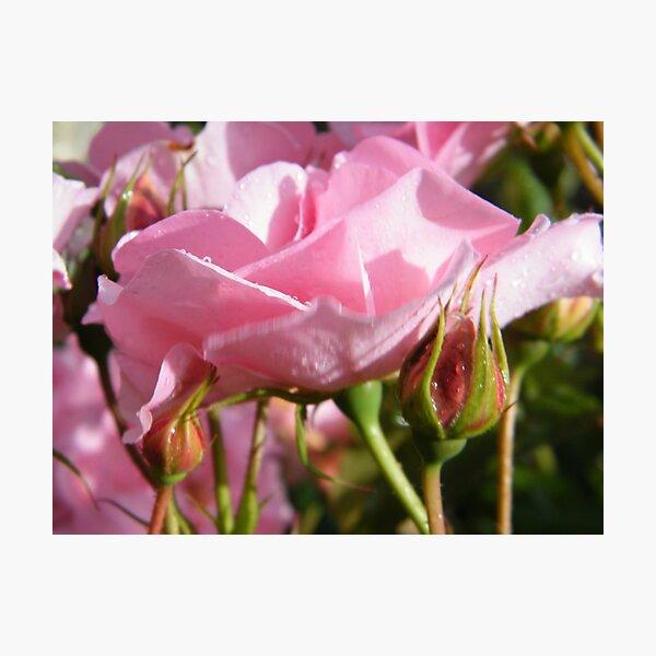 Rosebed Photographic Print