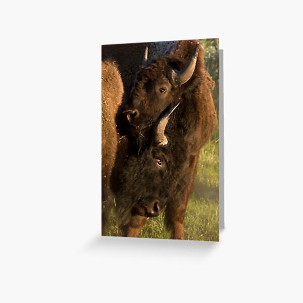 Wildlife Olympics - Bison Headlock, Wrestling Moves In The Wild Greeting Card