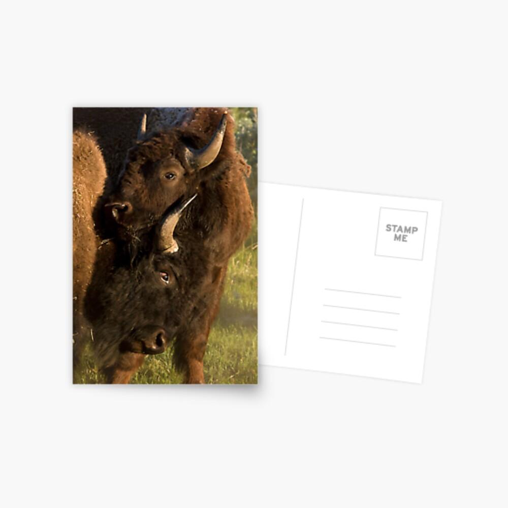 Wildlife Olympics - Bison Headlock, Wrestling Moves In The Wild Postcard