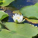 White Flower and Lily Pads by theartguy