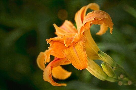 Fancy daylily by Celeste Mookherjee
