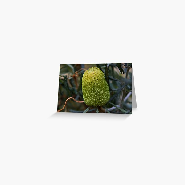 Banksia pilostylis  Greeting Card