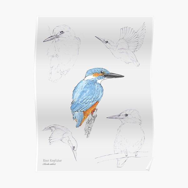 Kingfisher Study Poster