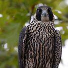 Peregrine Falcon by Dennis Cheeseman