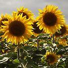 Sunflower heads by graceloves