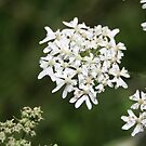 White Flower by mdench