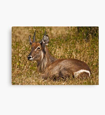 Waterbuck resting Canvas Print