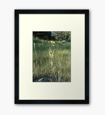 CONEFLOWERS - SWEET GRASS COUNTY, MT Framed Print