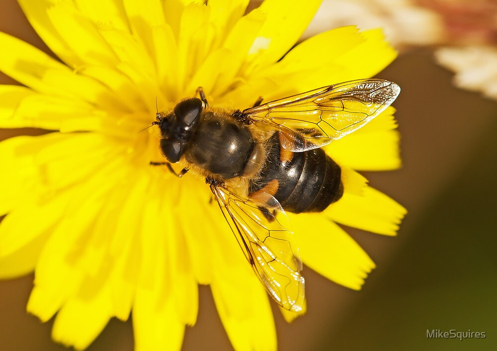 Hover Fly by MikeSquires