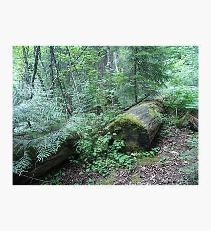 TRAIL OF THE CEDARS, GLACIER NATIONAL PARK Photographic Print