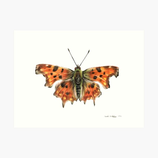 Comma Butterfly Drawing Art Print