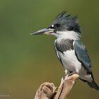 Male Belted Kingfisher by (Tallow) Dave  Van de Laar