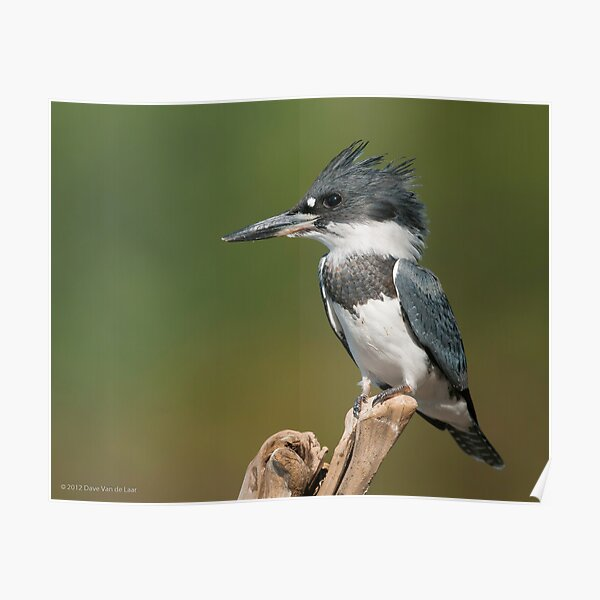 Male Belted Kingfisher Poster