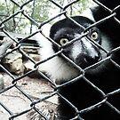 Black n White Lemur by Thet Htut