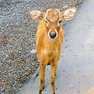 Fawn by Thet Htut