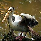 Pelican Brief by John Dalkin