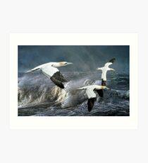 Gannets Skimming the Waves Art Print