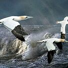 Gannets Skimming the Waves by Brian Tarr