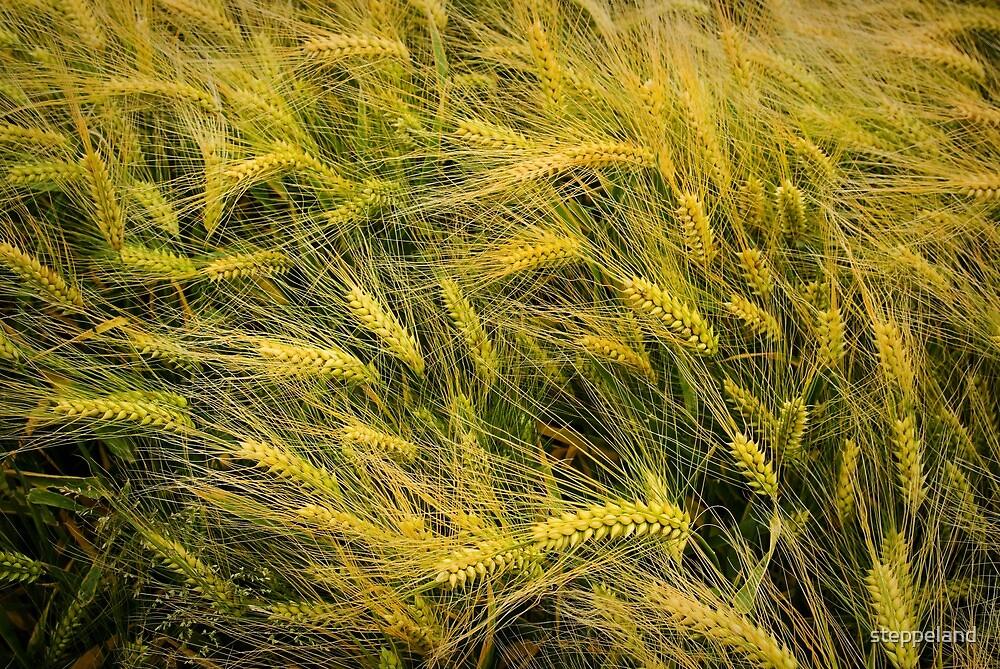 A barley fields' texture by steppeland