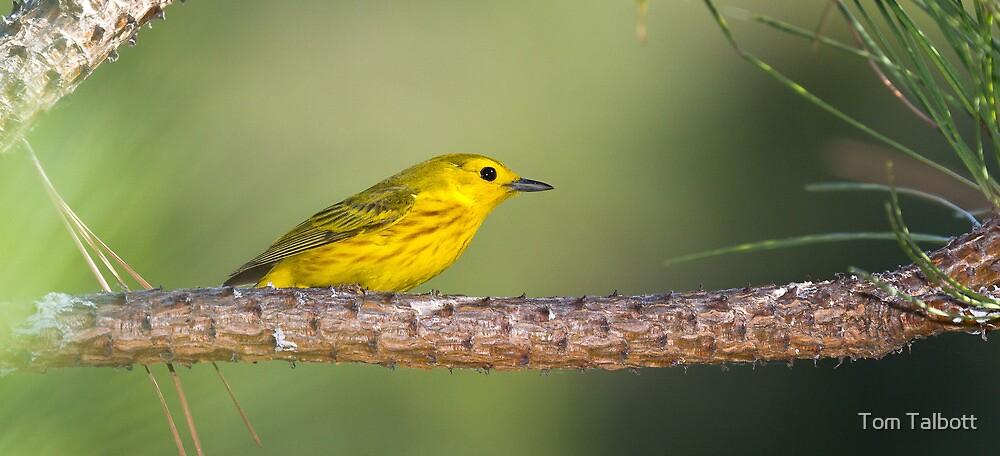 Yellow Warbler on Pine by Tom Talbott