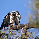 The Osprey Shake by byronbackyard