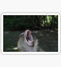 Monkey Teeth Photo ~ Barbary Macaques Phone Case Sticker