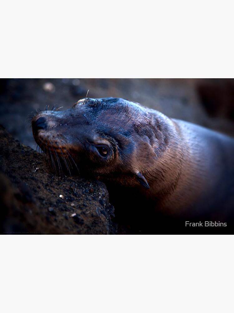 Galapagos Sea Lion by organicman2