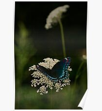 Red Spotted Purple and Queen Anne's Lace Poster