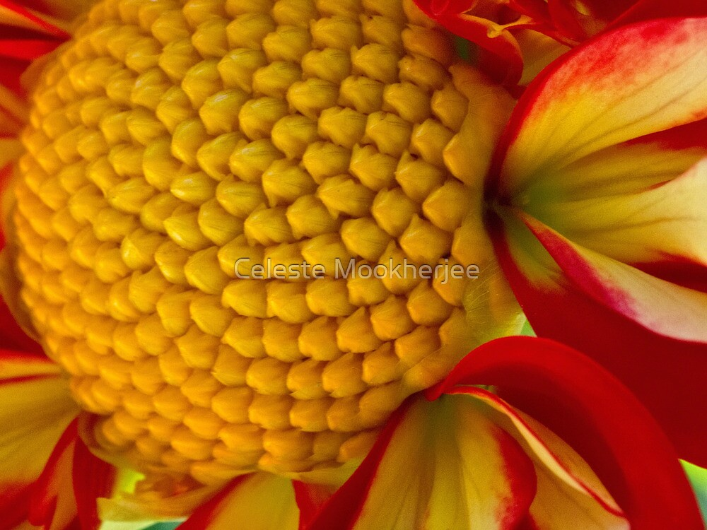 Happy dahlia center by Celeste Mookherjee
