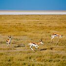 Springbok, Etosh National Park, Namibia Africa by Amber  Williams
