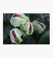 Grevillea jephcottii  Photographic Print