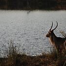 Waterbuck contemplating life by gogston