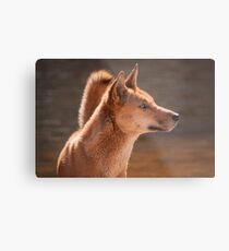 Dingo (Canis lupus dingo) Metal Print