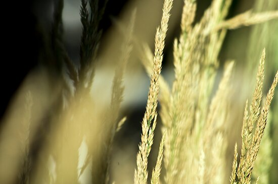 Tall Grass by Eric Weiand