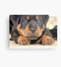 Cute Rottweiler Puppy With Blue Eyes Metal Print