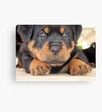 Cute Rottweiler Puppy With Blue Eyes Canvas Print