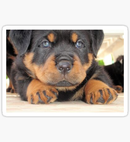 Cute Rottweiler Puppy With Blue Eyes Sticker