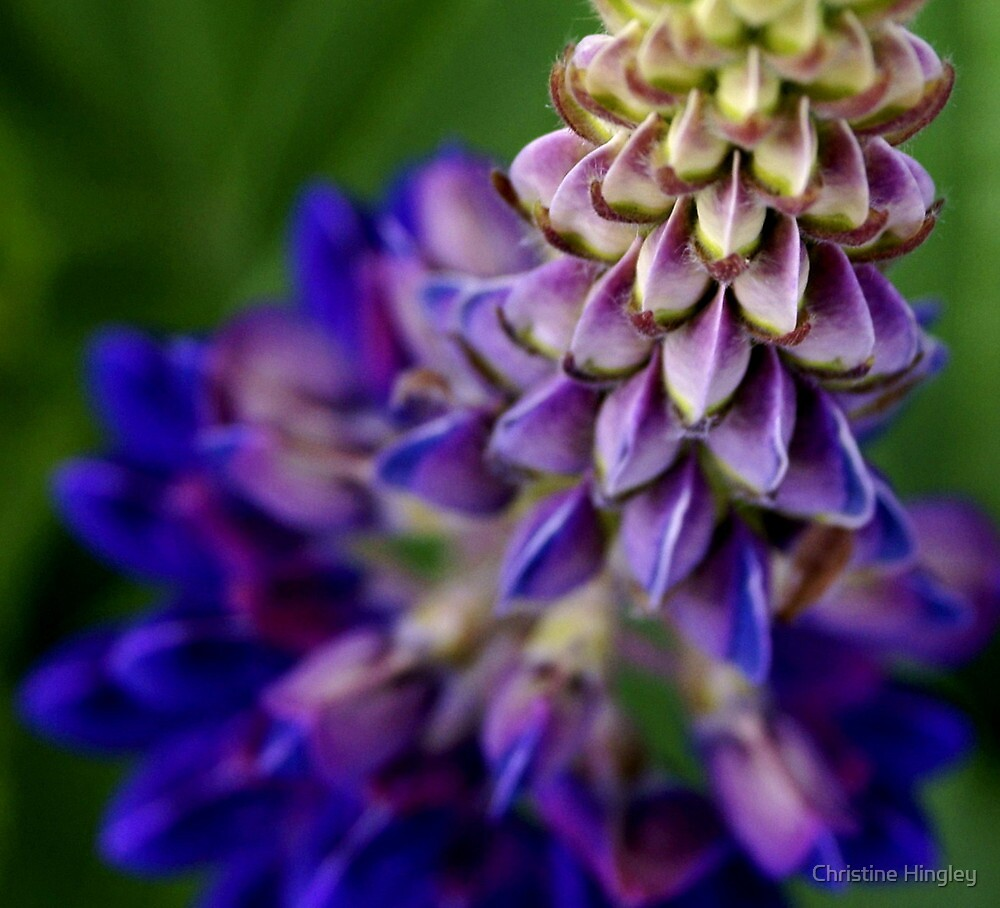 Blue Lupin by Christine Hingley