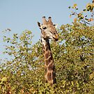 Giraffe making an appearance at Kruger by gogston