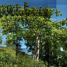 Sycamore in Summer by cuilcreations