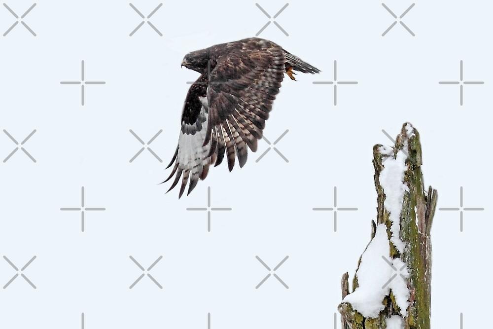Rough-legged Hawk by Jim Cumming