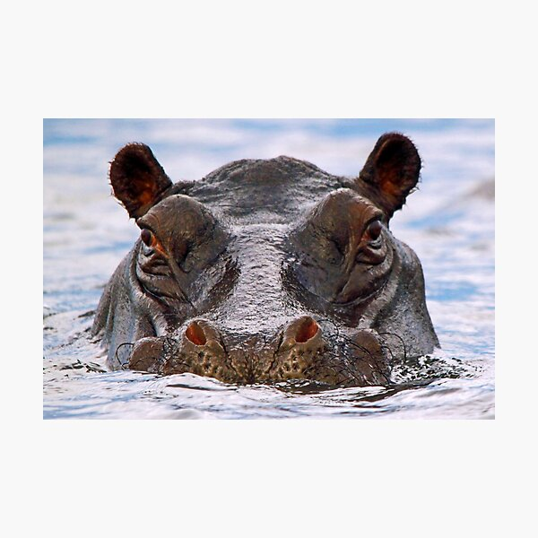Hippo Portrait Photographic Print