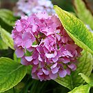 Hydrangea Flowers by Stephen D. Miller
