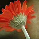 Rear View Gerbera by Astrid Ewing Photography